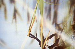 Reeds and Reflections 1