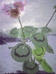 Pellargonium
